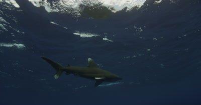 Oceanic White Tip Shark Swims Overhead In Blue Water
