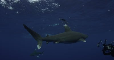 Oceanic White Tip Shark Swims In Blue Water,passes diver