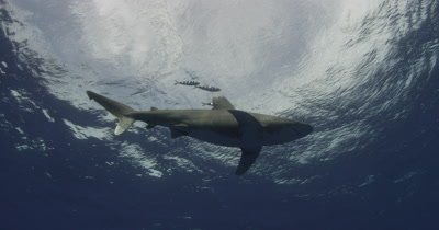 Oceanic White Tip Shark Swims overhead with pilotfish