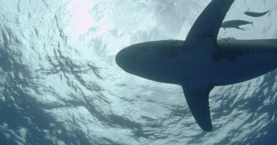 Oceanic White Tip Shark passes overhead with pilotfish In Blue Water