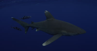 Oceanic White Tip Shark Swims with pilotfish In Blue Water