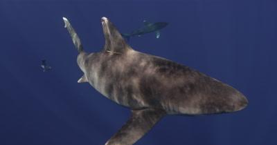 Oceanic White Tip Shark Swims In Blue Water,dappled with sunlight