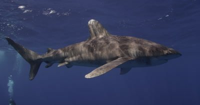 Oceanic White Tip Shark Swims In Blue Water,divers below in distance