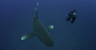 Oceanic White Tip Shark Swims In Blue Water photographed by diver
