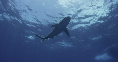 Oceanic White Tip Shark and boat passes overhead