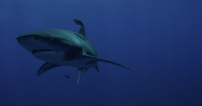 Oceanic White Tip Shark Turns Quickly in Front of CAmera