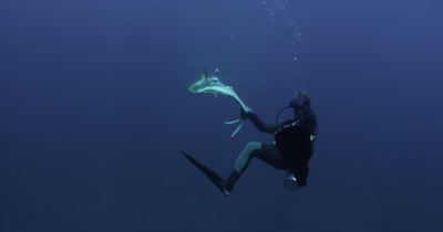 Diver Holds Bait for Oceanic White Tip Sharks in Blue Water