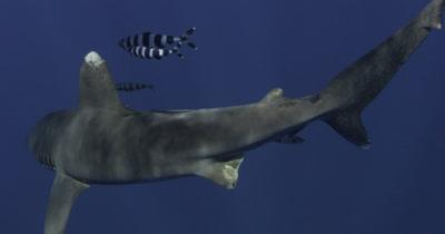 Oceanic White Tip Shark passes with pilot fish