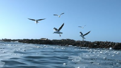 Seagulls above foamy ocean offshore from cape fur seal colony