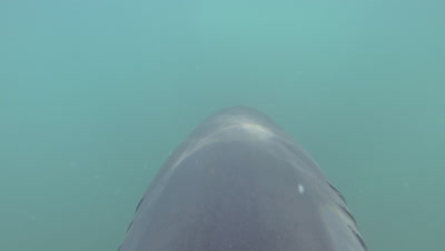 Great White Shark Fin Cam,Point of View of Shark