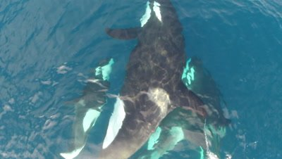 Low Aerials Over Pod of Killer Whales,Orcas,Very Close