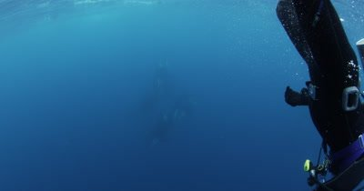 Scuba Diver Swims With Killer Whales