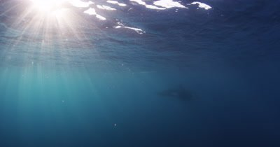 Killer Whale Swims In Open Ocean Through light rays