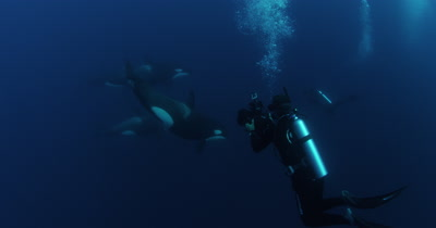 Scuba Divers Swim With Killer Whales