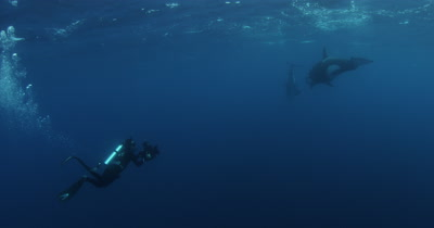 Diver Films,Swims With Killer Whales