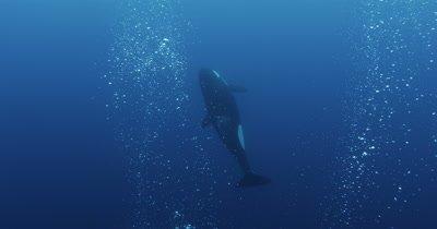 Killer Whales Swim in Open Ocean among bubbles