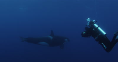 Killer Whales Swim in Open Ocean,one swims close to diver filming