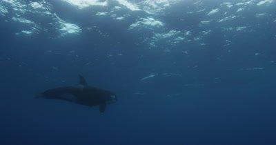 Killer Whales Swim in Open Ocean