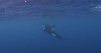 Killer Whale Swims in Open Ocean just below surface