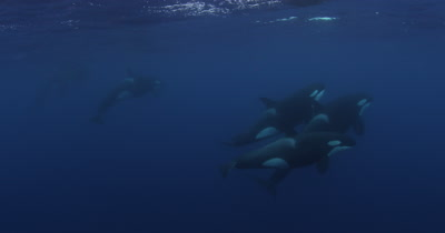 Pod of Killer Whales Swim in Open Ocean