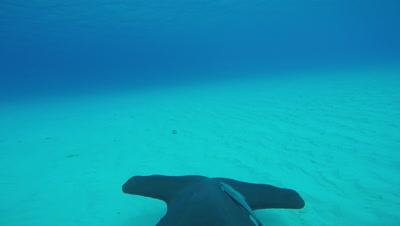 POV Hammerhead Shark Fincam Above Sand Bottom