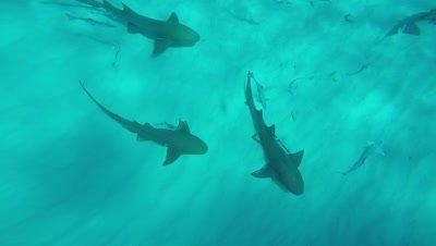 Nurse Sharks on Sand Bottom