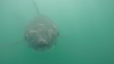 Great White Shark Swims in Green,Murky Water,directly at camera