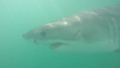 Great White Shark Swims in Green,Murky Water