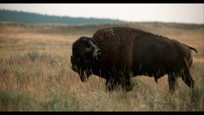 Slow Motion,Large Male Bison Walks in Grassland
