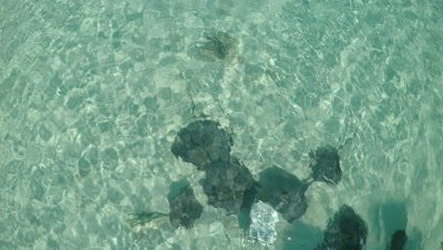 Stingrays swimming in the shallow waters of the Bahamas