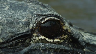 Macro shot of the eye of an American Alligator swimming in the Everglades