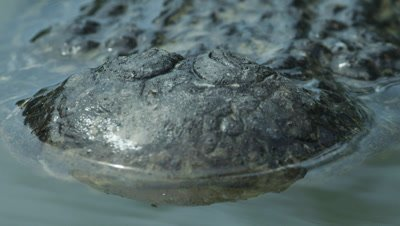 Close up of the snout/nostrils of an American Alligator swimming in the Everglades