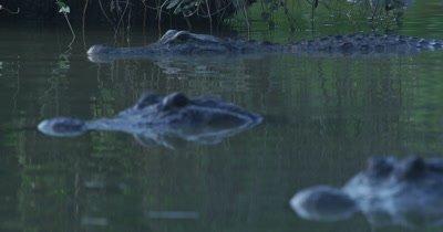 American Alligators swimming in the Everglades