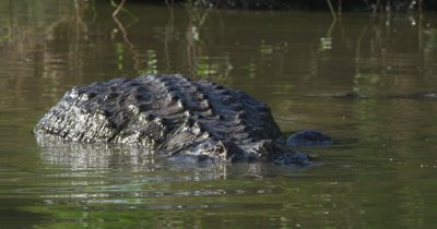 American Alligators mating in the waters of the Everglades