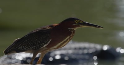 Green Heron walks along the shore of the everglades; American Alligator floats in the water nearby in the background