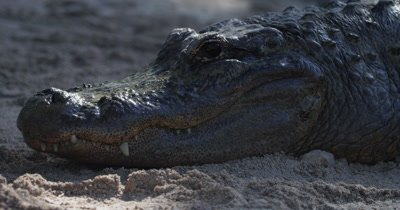 Close up of the head of an American Alligator resting on a sandy beach in the Everglades