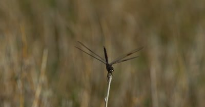 Four-spotted Pennant Dragonfly perched at the tip of a plant stem