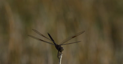 Four-spotted Pennant Dragonfly perched at the tip of a plant stem briefly takes flight, and then lands again