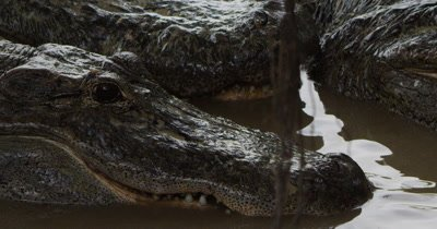 American Alligators waiting to be fed scraps of meat