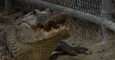 American Alligator resting on the dirt near the fence of it's enclosure with jaws open