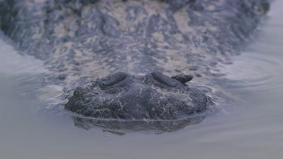Close up on the snout/nose of an American Alligator resting on a sandy beach in the Everglades