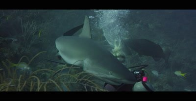 Scuba Divers shooting footage of Caribbean Reef Sharks in the Bahamas