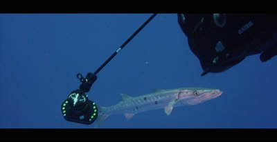 Scuba Divers shooting footage of Barracuda in the Bahamas