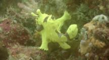 Frogfish, Anglerfish Walking