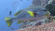 Oriental Sweetlips Swims Over Reef