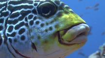 Oriental Sweetlips, Coral Reef Fish