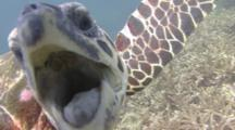 Curious Hawksbill Turtle Trying To Eat The Camera Lens