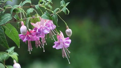 Pink fuchsias with copy space