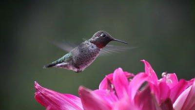 A ruby-throated hummingbird feeds on pink belladonna lilies