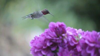 A hummingbird is seen with purple dahlias.